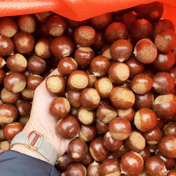 Chestnuts / 锥栗~ 3lbs